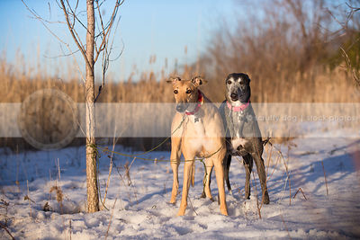 two dogs standing together in snow in clearing with reeds