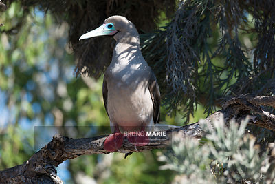 Red-footed booby, Europa