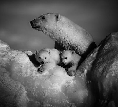 5224-Polar_bear_with_cubs_Baffin_Island_Canada_2016_Laurent_Baheux