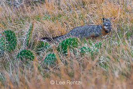 Island Fox with Radio Collar on Santa Cruz Island