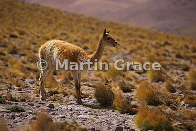 Vicugna (Vicugna vicugna) in the Andean Altiplano, Atacama, Chile