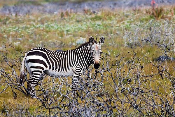 One of the rarest mammals in the world, Cape mountain zebra (Equus zebra zebra), Smitwsinkel Flats, Cape Peninsula, South Afr...