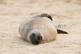 galapagos_sea_lion_santa_fe_sand_face-5