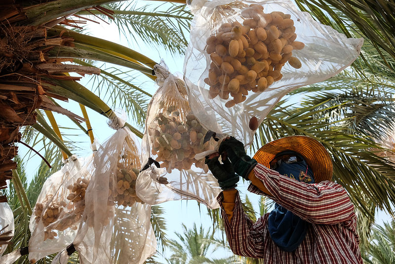 Picking Dates at the  Dead Sea