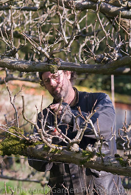 Winter at Heale Gardens, Wiltshire.  The Head Gardener working in the tunnel of apple trees in the Walled Vegetable Garden. ©...