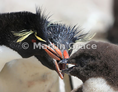 Adult Southern Rockhopper Penguins (Eudyptes chrysocome chrysocome) with a chick, Cape Coventry, Pebble Island