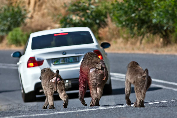 Alpha male baboon from the Smitswinkel troop walks along the M4 road near Miller's Point, bloodied from a fight with another ...