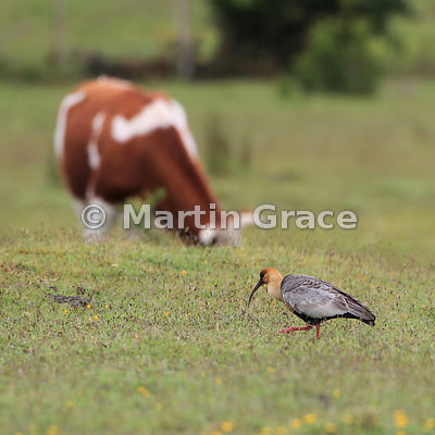 Black-Faced Ibis (Theristicus melanopis melanopis), Chiloe Island, Chile