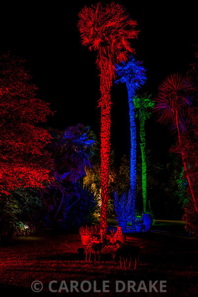 Tall Chusan palms, Trachycarpus fortunei, lit with green, blue and red lights at Abbotsbury Subtropical Gardens in October