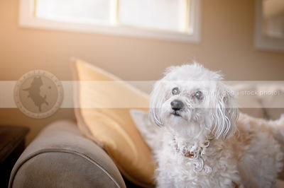 portrait of small white dog sitting on couch in livingroom indoors