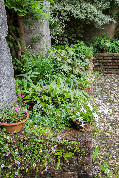 Raised bed planted with hostas, epimediums and Podophyllum versipelle 'Spotty Dotty', with self seeded Mexican daisy, Erigero...