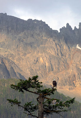 Bald eagle (Haliaeetus leucocephalus) perched atop a broken-topped old Douglas-fir, with 10,000 ft. Nusatsum Mtn. in the back...