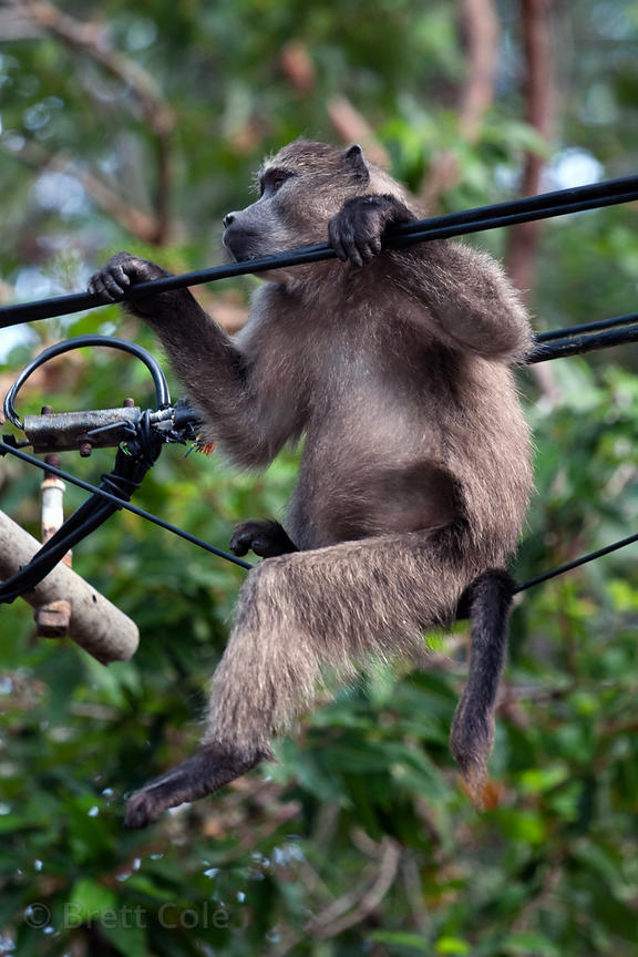 A chacma baboon from the Plateau Road troop plays on an electrical power line, a major source of injures to the baboons, Cape...