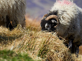 Sheep grazing on open ground in the mountains, hills of the English countryside. Livestock, hill farming.