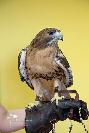 """Lady Hawk,"" - 24-year old Red-tailed Hawk"