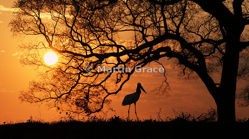 Jabiru Sunset Two - commended in the Birds in the Environment category of Bird Photographer of the Year 2018