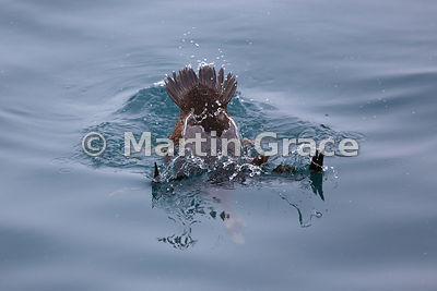 Female Common Eider (Somateria mollissima) diving underwater, Husavik, north Iceland