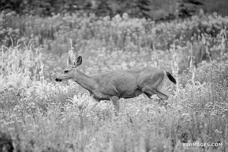 DEER MOUNT RAINIER NATIONAL PARK WASHINGTON BLACK AND WHITE