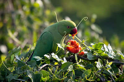 Parakeet eating a wild fruit in Keoladeo National Park, Bharatpur, India