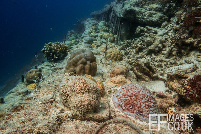 An artificial reef structure at TRACC gives stability to corals that have been collected from bomb fishing sites and given a ...
