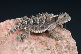 Phrynosoma asio, Giant horned lizard, Mexico