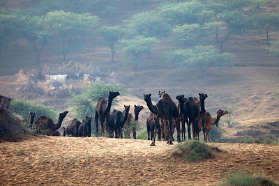 Camels in Pushkar, Rajasthan, India