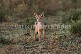jackal_ndutu_02192015-3-Edit