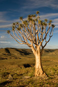 Quivertree or kokerboom in the Naukluft mountains, Namibia