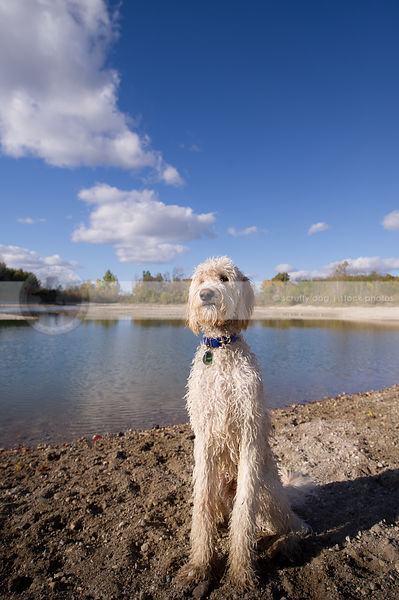 shaggy wet cross breed dog posing at lake shore with sky and clouds