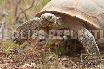 Desert Tortoise March 1