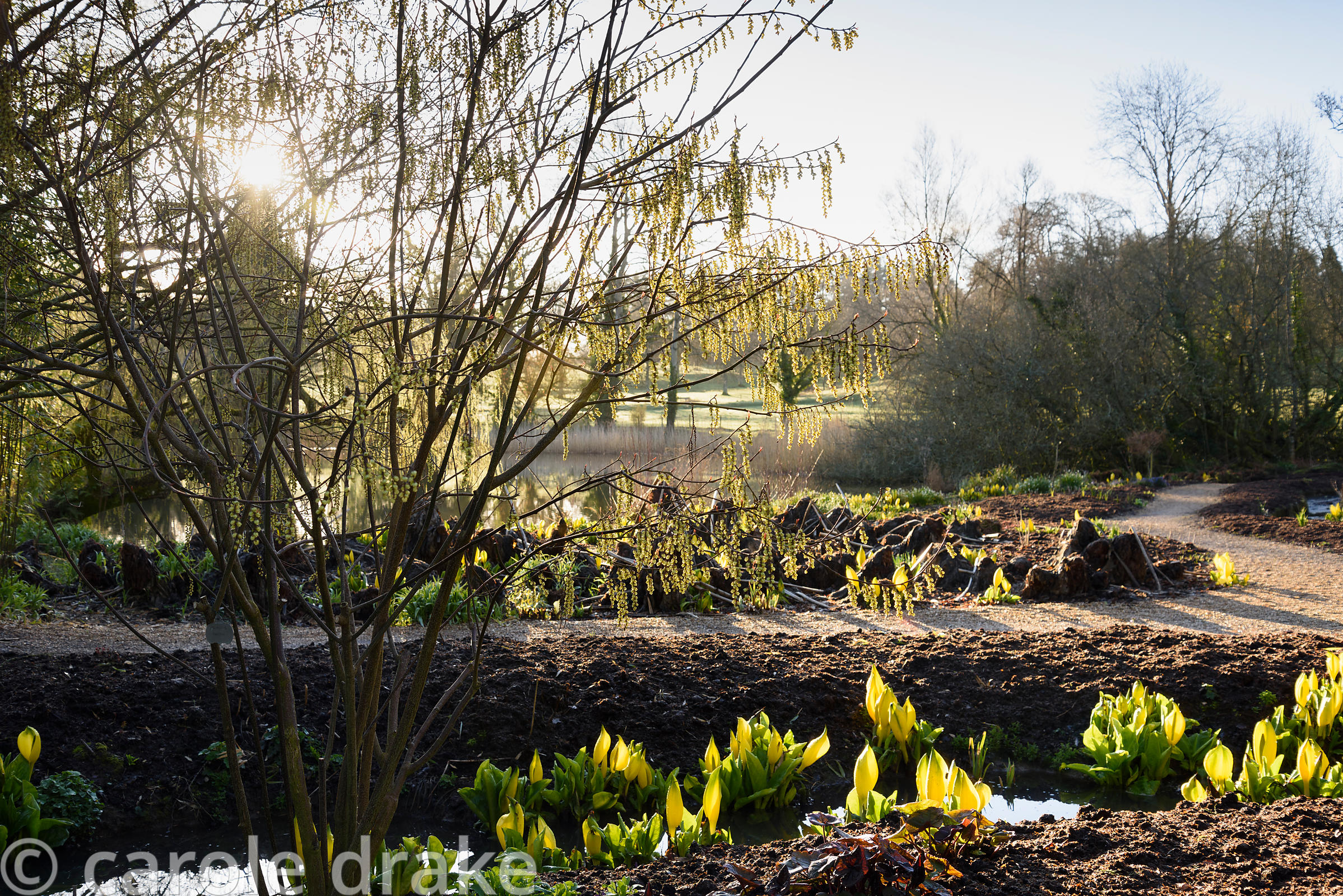The bog garden at Forde Abbey in April with the new shoots of a weeping willow backlit by morning sunlight amongst Lysichiton...