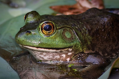 American bullfrog (Rana catesbeiana), National Zoo, Washington D.C.