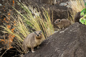 Rock hyrax, Procavia capensis, Kidepo Valley National Park, Uganda