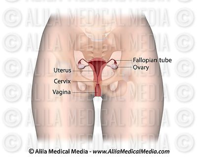 Female reproductive system labeled