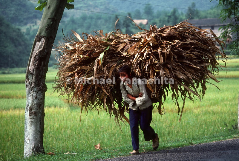 A teenage girl carries corn. Enroute from Zunyi to Tongzi.Guizhou, China