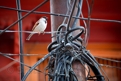 Songbird on a jumble of utility wires in Jodhpur, Rajasthan, India