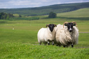 A sheep and Lamb on farmland in Northumberland, England, UK.