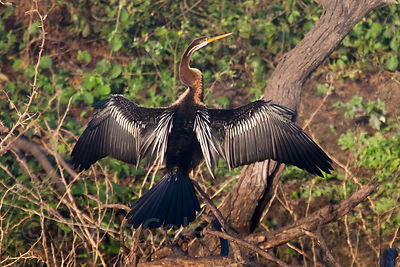 Snake bird or Darter (Anhinga melanogaster), Keoladeo National Park, Bharatpur, India