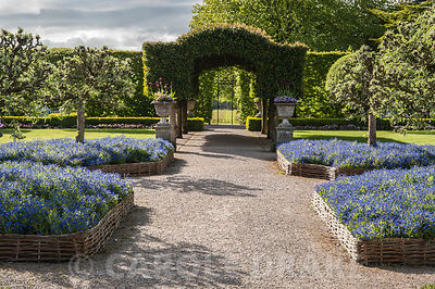 The Summer Garden with central archway of Portugese lauel and hurdle beds full of forget me nots below pollarded silver pears...