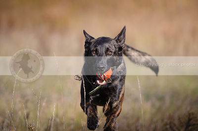 dutch shepherd dog carrying ball in natural setting