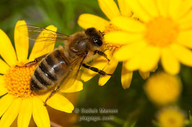 North American Honey Bee on Dahlberg Daisy, San Jose, CA, USA