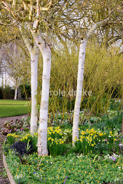 White stemmed birches underplanted with winter aconites, snowdrops, early daffodils and Ophiopogon planiscapus 'Nigrescens' a...