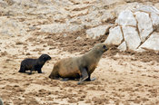 Cape fur seal with pups. The Cape fur seal (Arcocephalus pusillus pusillus) is endemic to Southern Africa. Cape Cross, Skelet...