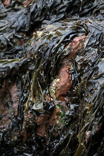 UK - Pembroke - Seaweed (Porphyra umbilicalis) - know as laver in Wales - on Freshwater West Beach