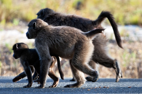 Chacma baboon from the Plateau Road troop with a lame foot and a missing tail due to being attacked by a person, Cape Peninsu...