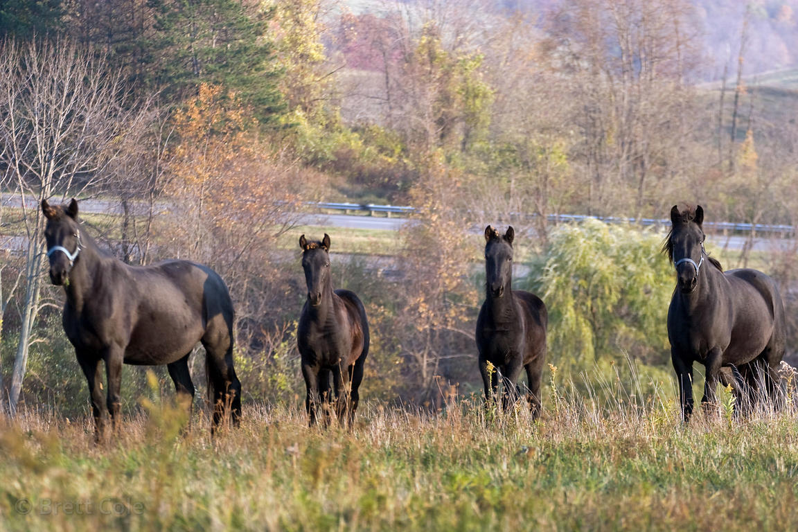 Family of horses on a farm adjacent to Interstate 70, near Springfield, Ohio