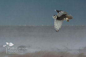Snowy Owl Tipping His Wing