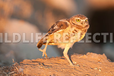 Burrowing Owl Leg Lift 2