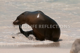 galapagos_sea_lion_water_scratch_1