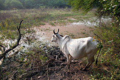 Cow in wetlands in Keoladeo National Park, Bharatpur, India. Despite being banned from the park there are countless cows insi...
